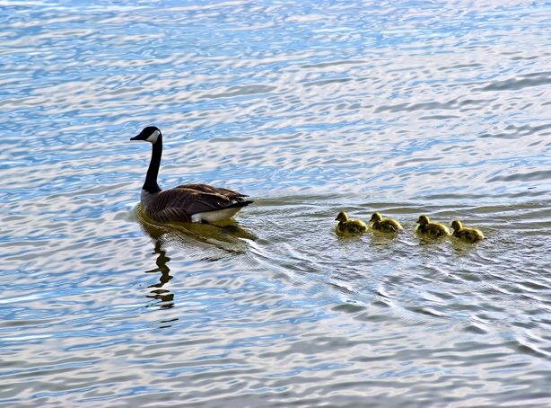 A family of geese float across calm lake water