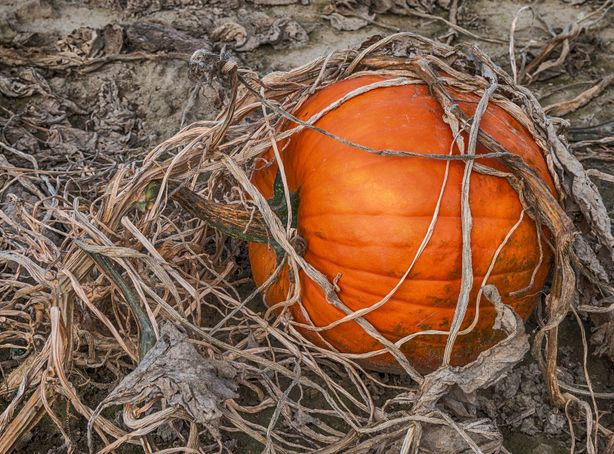 A ripe orange pumpkin sits unpicked in a dirt patch