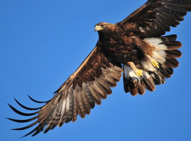 A Golden Eagle soars through the blue sky above Dedication Point
