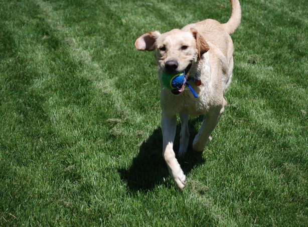 A golden lab trots through the grass with a tennis ball is its mouth